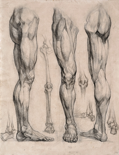 line drawings of leg muscles